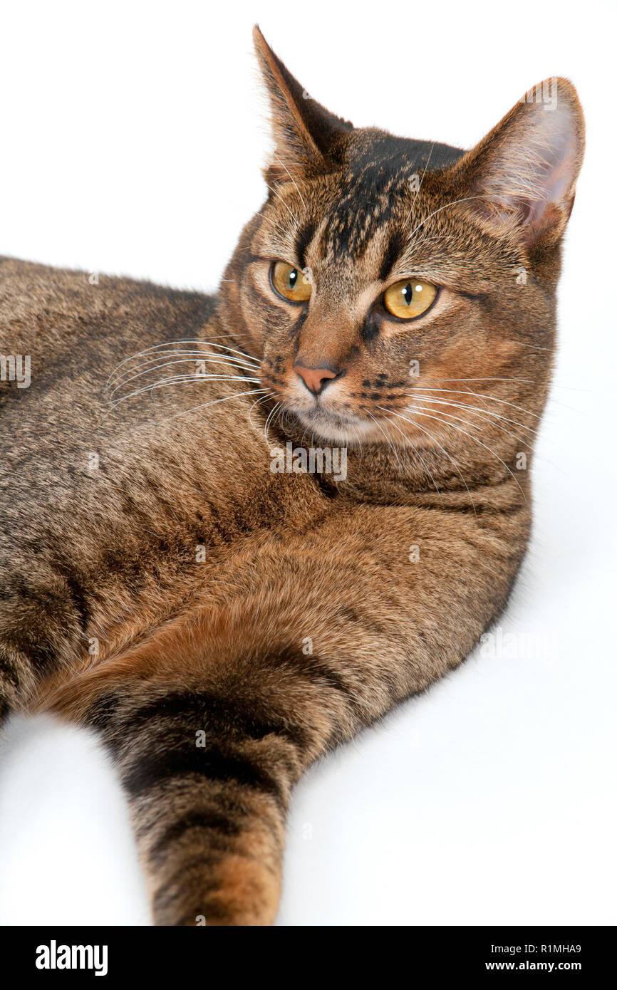 Studio shot on white seamless of a cute part-Abyssinian young male cat lying down - Stock Image