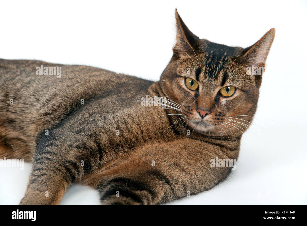 Studio shot on white seamless of a cute part-Abyssinian young male cat lying down looking at the camera - Stock Image