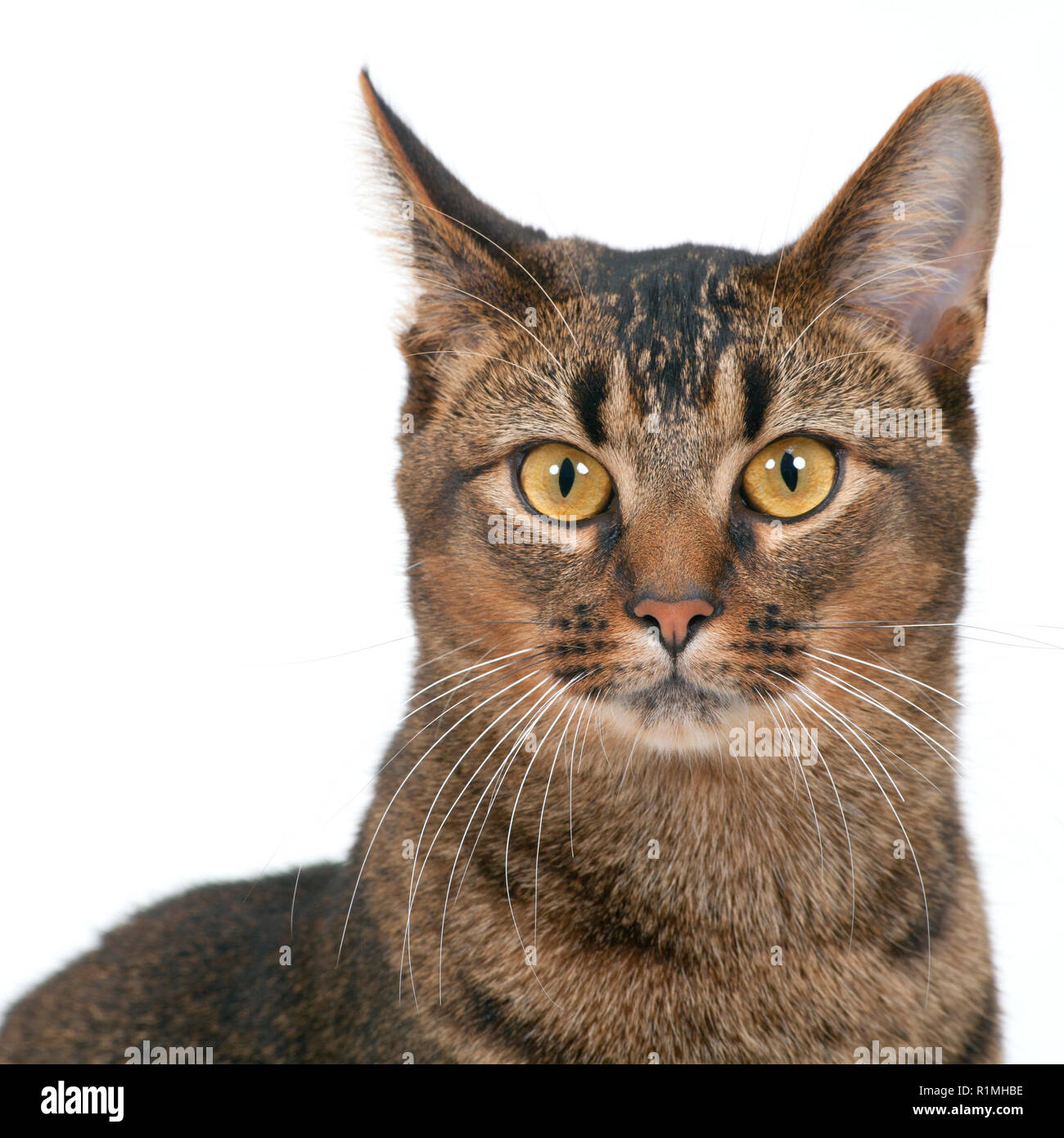 Studio shot on white seamless of a cute part-Abyssinian young male cat with stunning amber coloured eyes looking at the camera - Stock Image