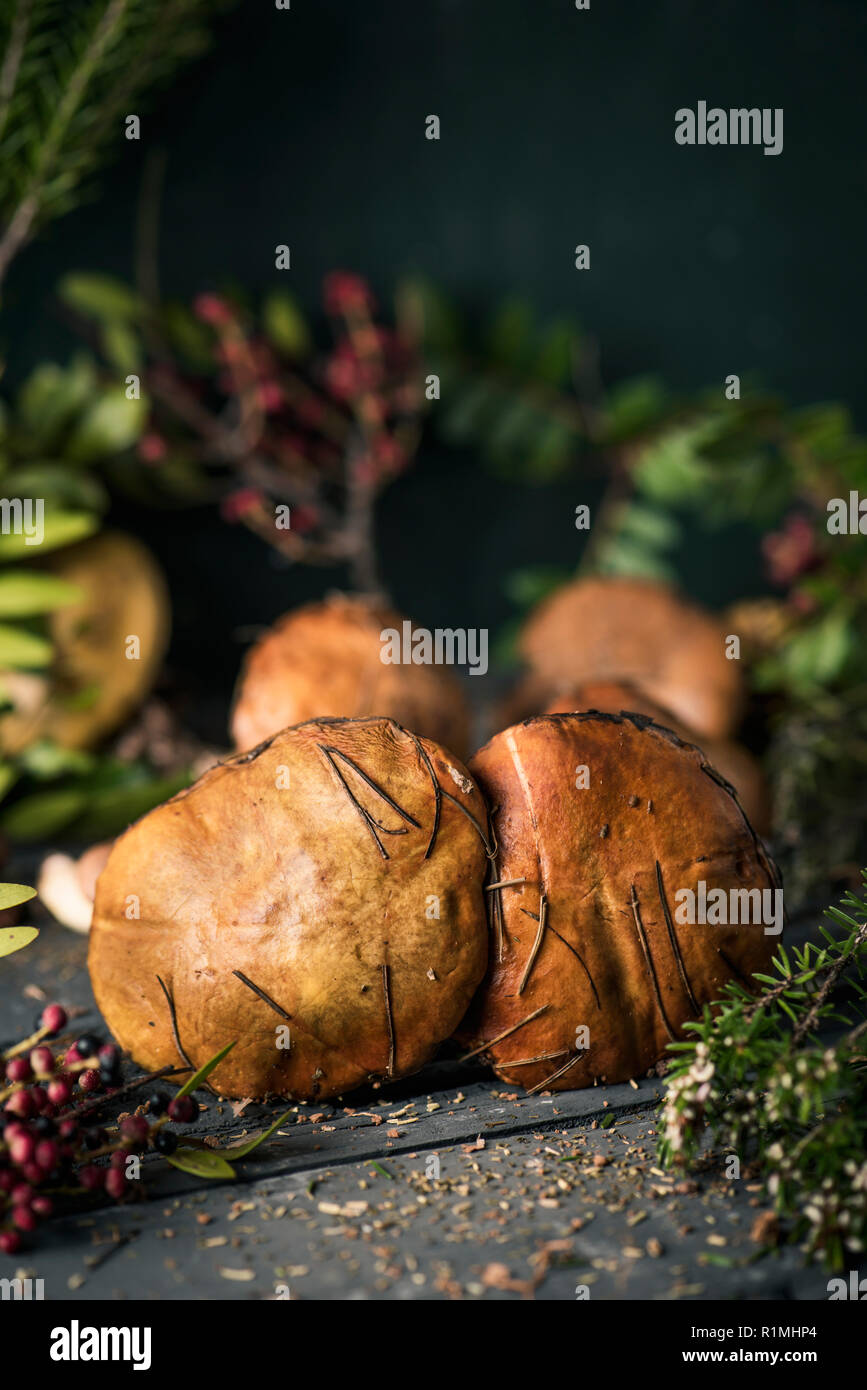 closeup of some yellow knight mushrooms, also known as man on horseback, and some twigs of different forest bushes on a dark gray rustic wooden table - Stock Image