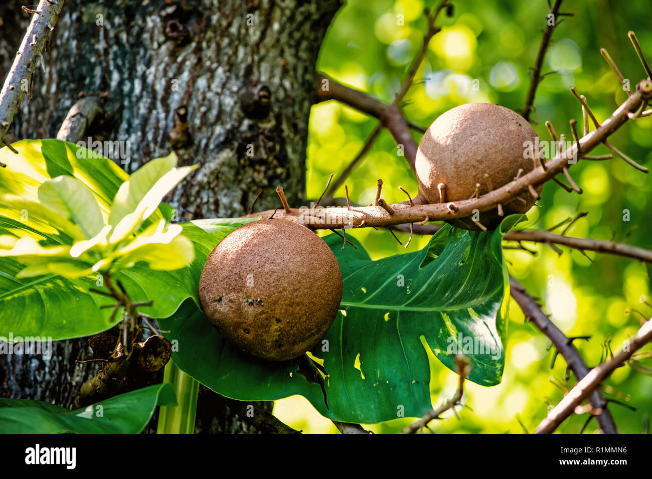 Fruits on cannonbal tree with green leaves in rainforest of Honduras on sunny day on natural background. Wildlife and nature. Eco park concept. - Stock Image