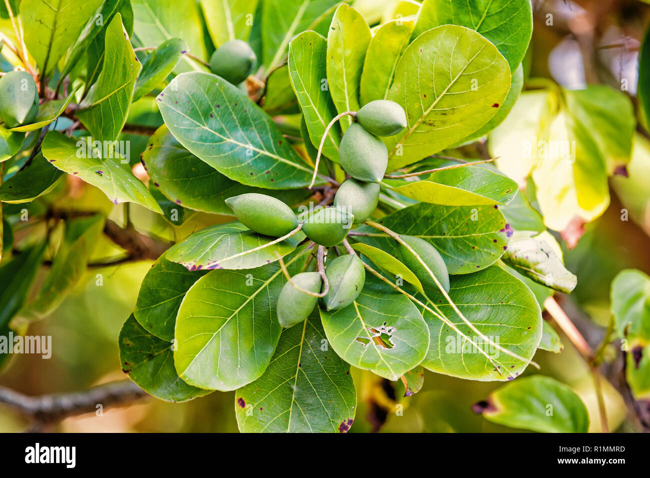 almond Seed pods of green color on tree in rainforest of Honduras on blurred natural background. Eco park concept. Wildlife and nature. - Stock Image