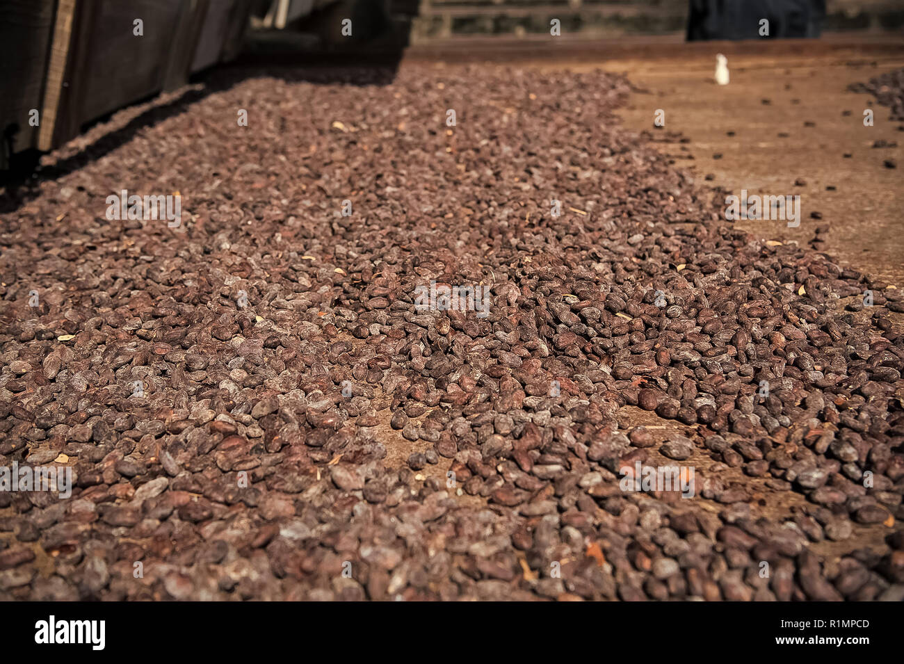 Cocoa raw beans drying on rusty iron board on farm on blurred background. Organic cacao seeds. Chocolate and healthy diet - Stock Image