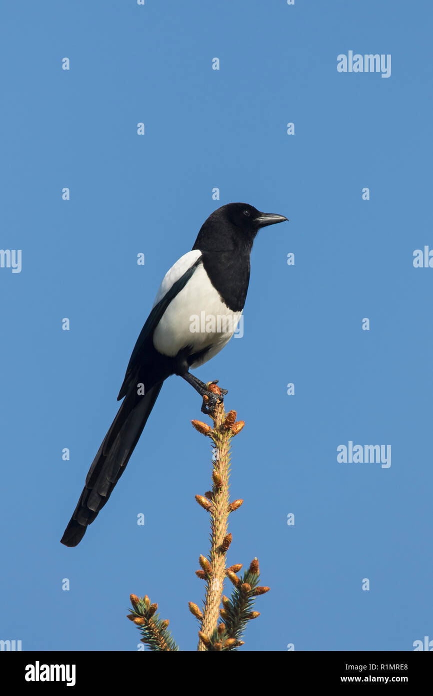 Eurasian magpie / common magpie (Pica pica) perched in tree against blue sky Stock Photo