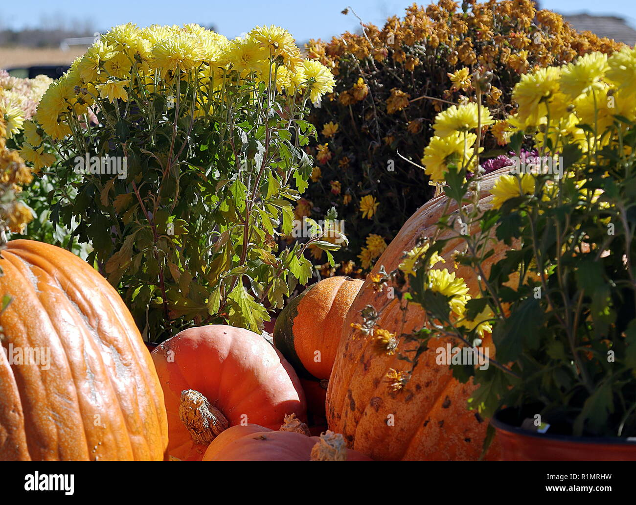A small still life on the topic of Halloween. A few pumpkins and flowers in sunny day - Stock Image