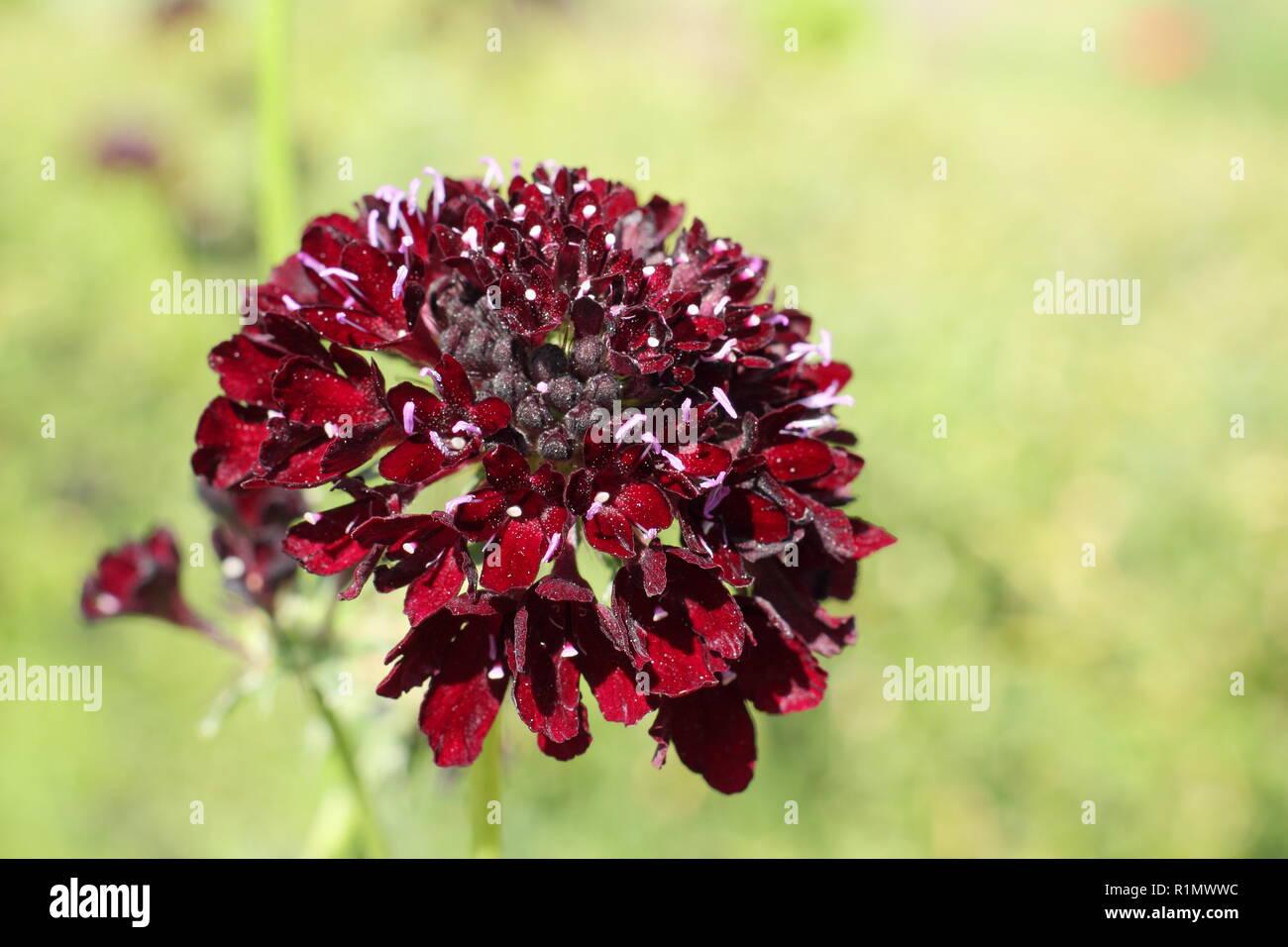 Scabiosa atropurpurea 'Black Knight'. Sweet scabious 'Black Knight' , a bee friendly hardy annual flower in a garden border - Stock Image