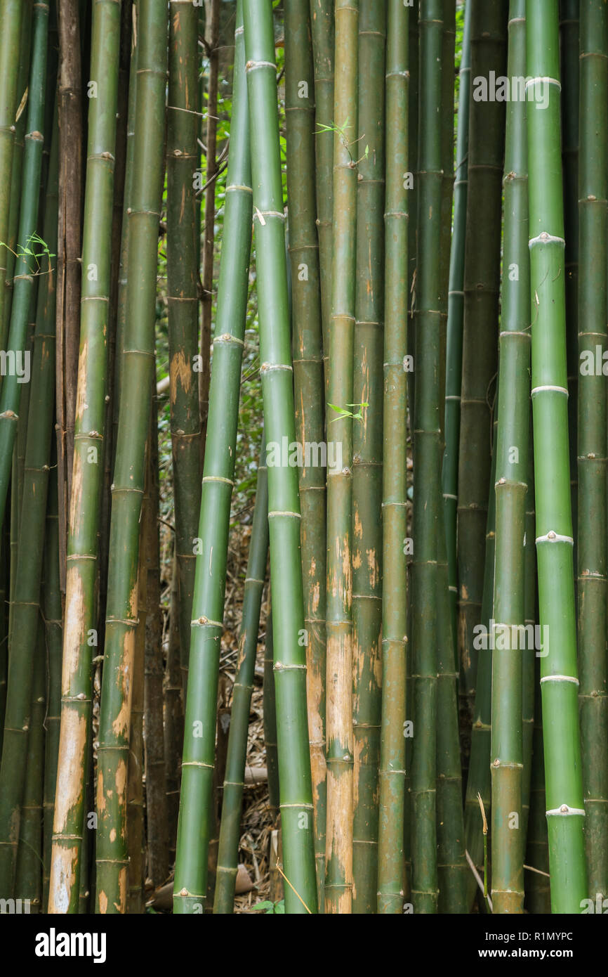 Close-up of many bamboo trees in a forest in Laos. Stock Photo