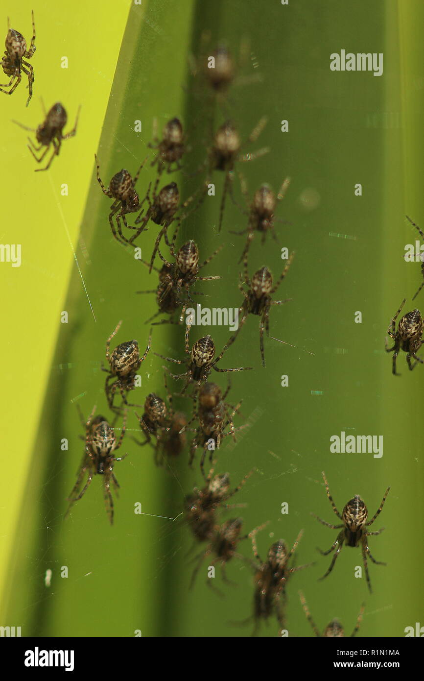 Spiderlings - Stock Image