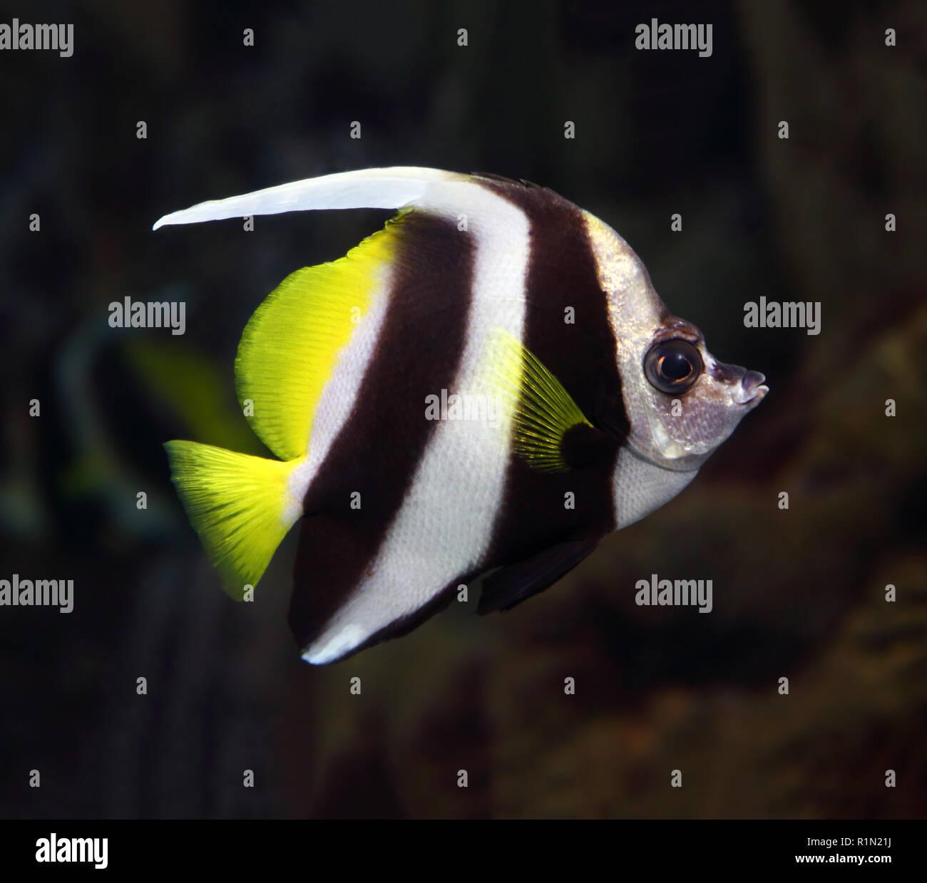 pennant coralfish underwater - Stock Image