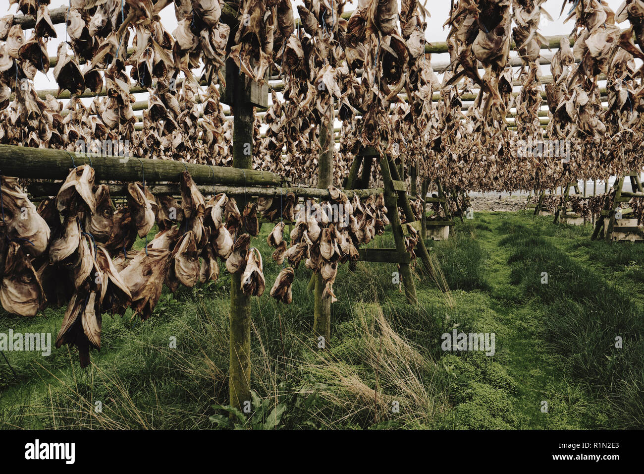 Drying fish heads - cut off fish heads hung out to dry on large timbered frames in the Iceland landscape Stock Photo