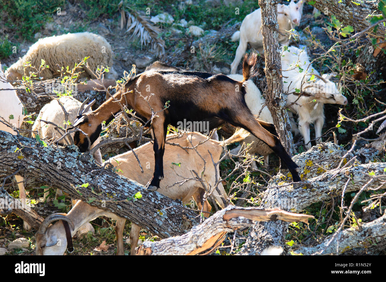 Goats and sheep graze among the rocks, one is climbing up a fallen tree - Stock Image