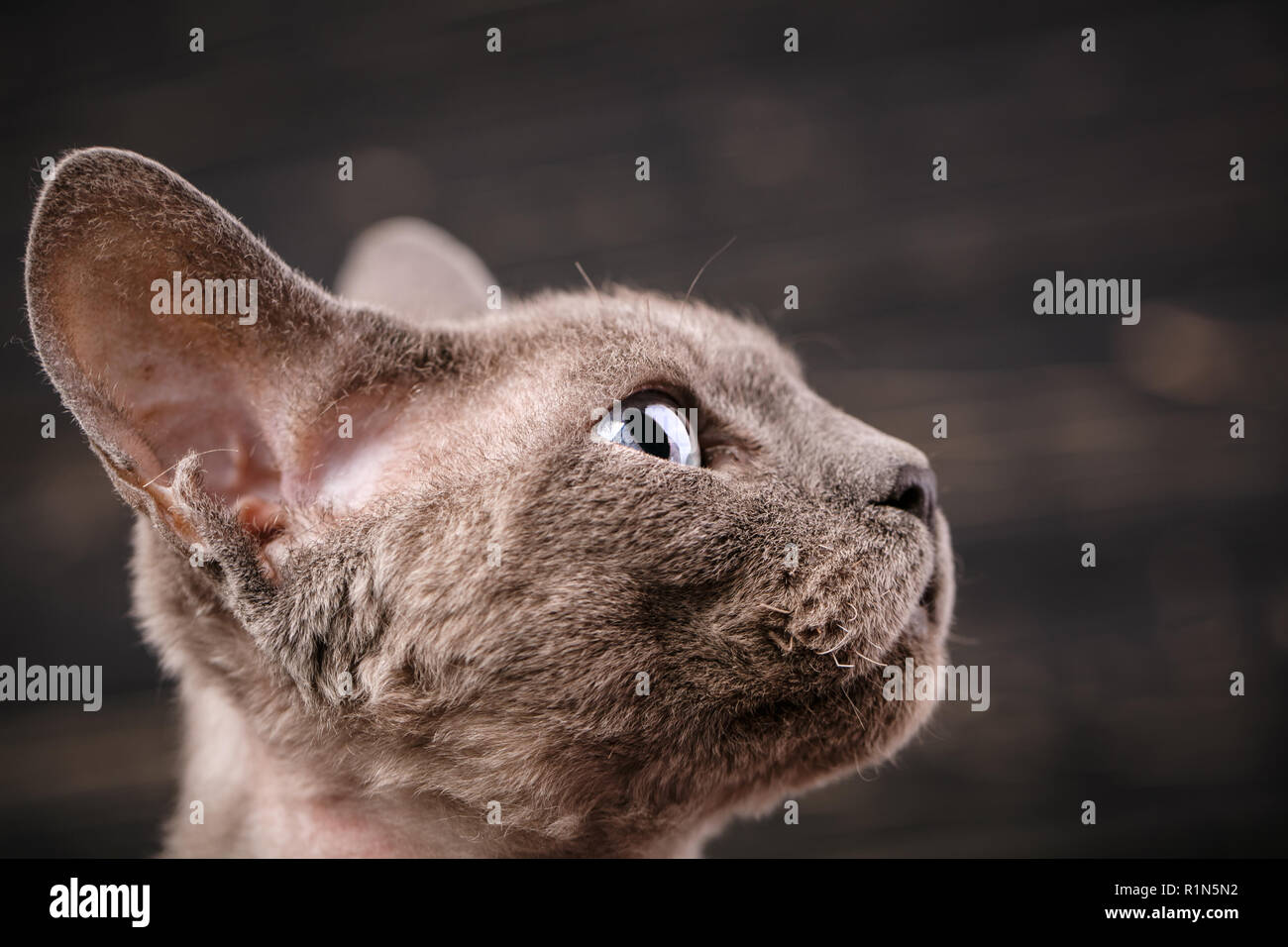 Devon-rex cat close-up portrait. Exhibition of cats concept. - Stock Image