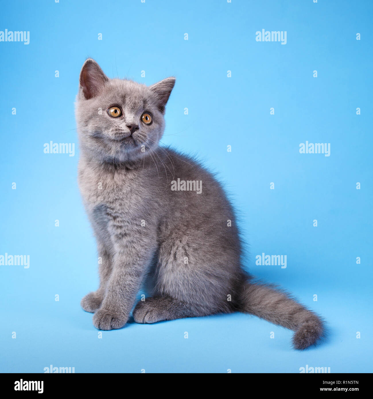 Gray kitty with fluffy mustache on a blue background. - Stock Image