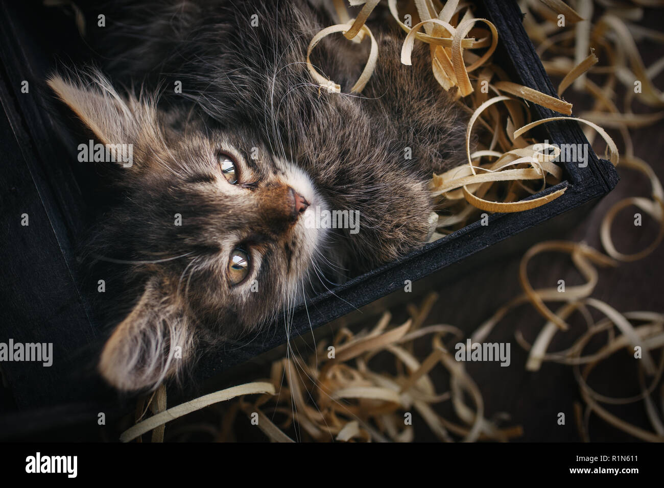 Cat lying in sawdust. Funny gray kitty - Stock Image