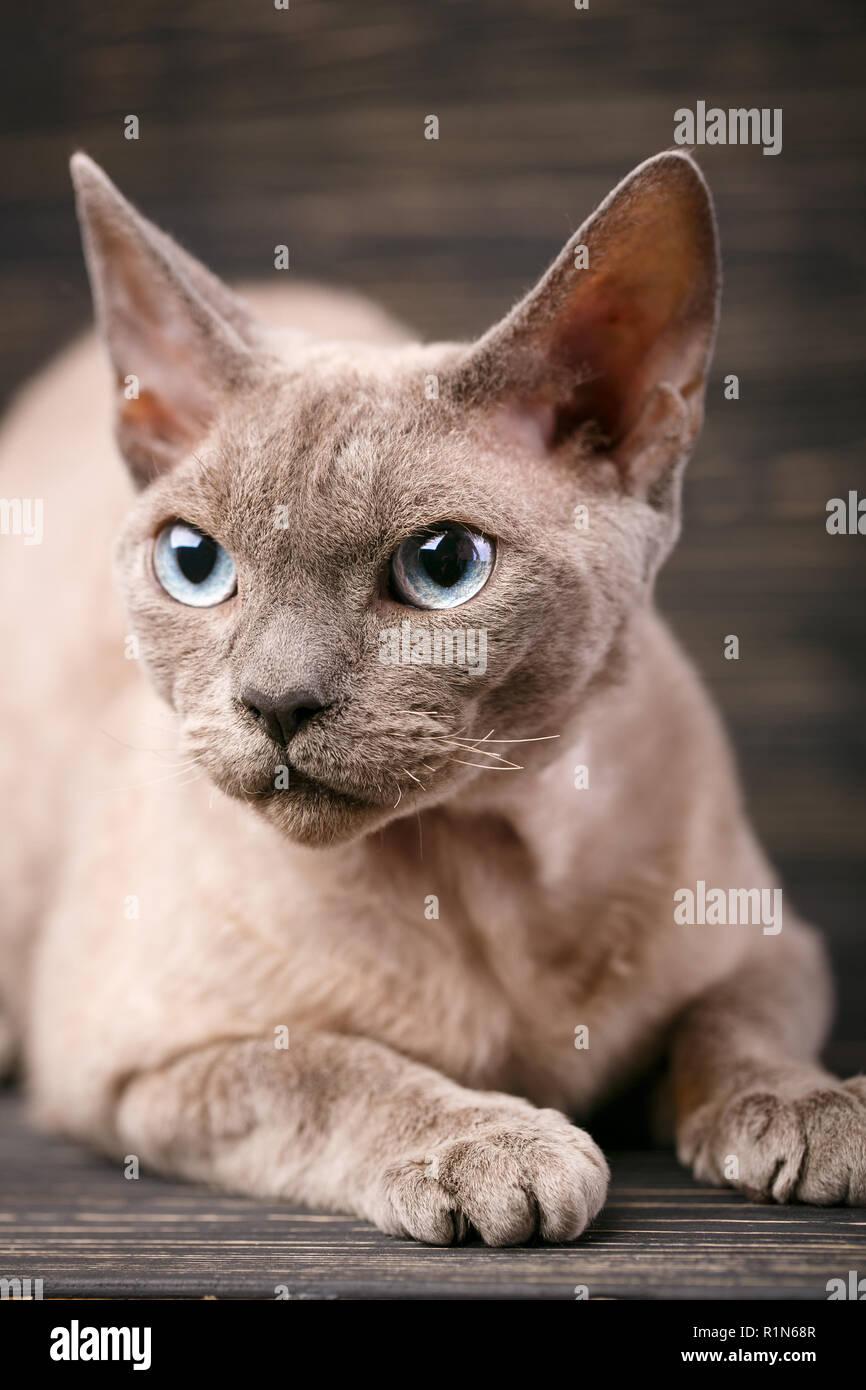 Pure-bred devon rex cat portrait on dark - Stock Image