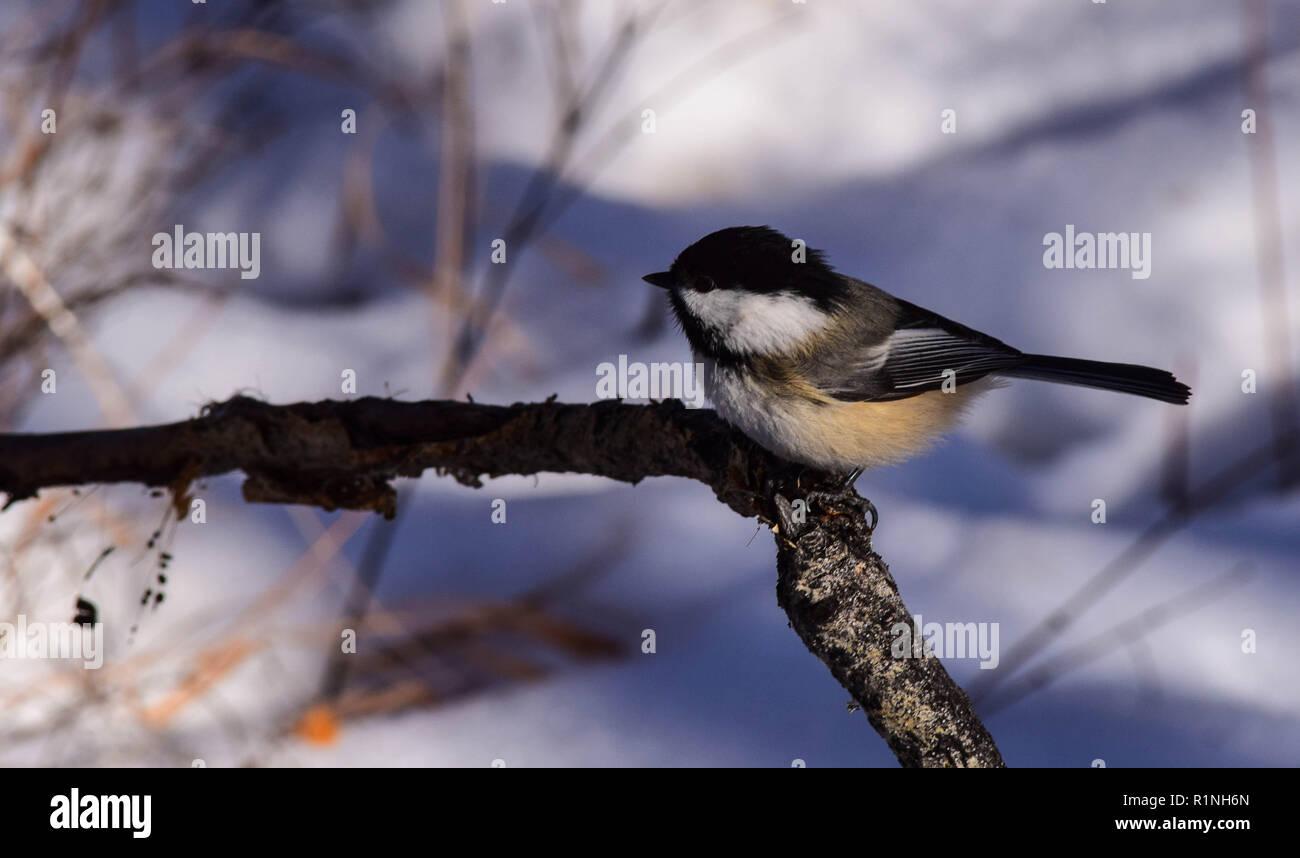 Chickadee - Stock Image