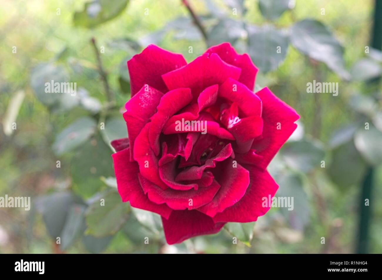 Fuchsia rose isolated in the garden (Pesaro, Italy, Europe) Stock Photo