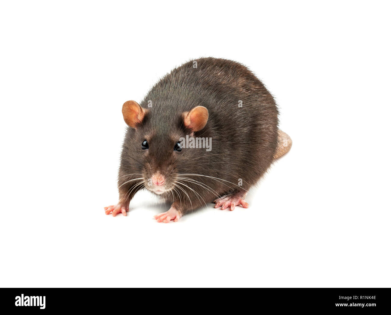 Large grey pet rat isolated on white background - Stock Image