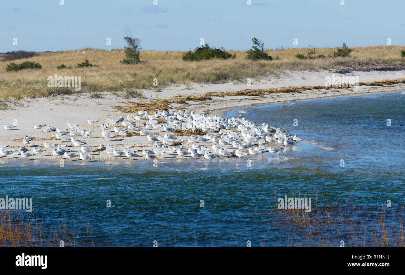 Seagulls (Laridae) gather together on a Cape Cod beach, Brewster, Massachusetts, Cape Cod - Stock Image