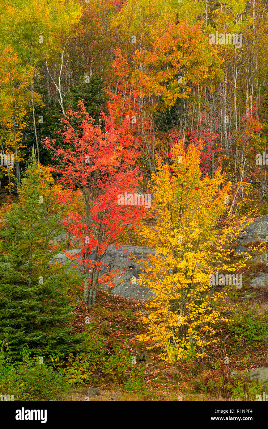 Mixed forest of hardwood and conifer in autumn, on a hillside., Greater Sudbury, Ontario, Canada - Stock Image