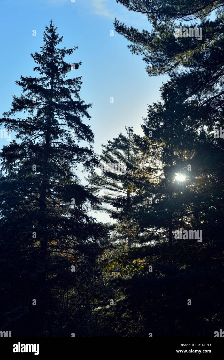 Sun peeking through branches of conifers near the Penage Marina, Greater Sudbury (Penage Lake area), Ontario, Canada - Stock Image