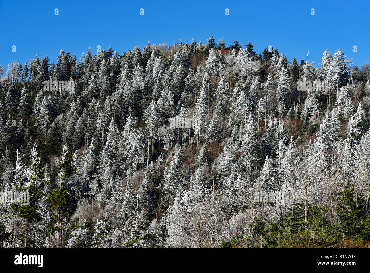 Frosted trees on the slopes near Clingman's Dome, Great Smoky Mountains National Park, Tennessee, USA - Stock Image