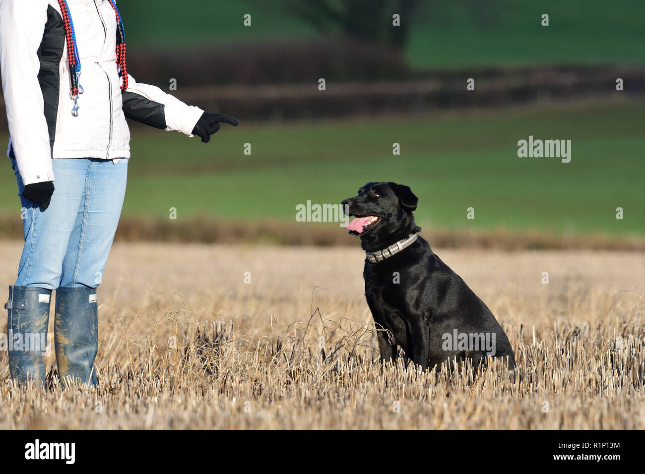 Portrait of an obedient black Labrador sitting in a field in front of a dog trainer - Stock Image