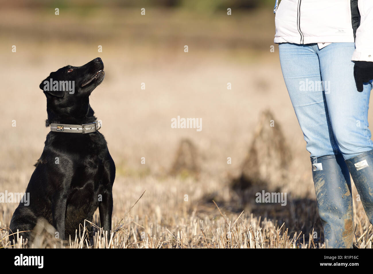 Portrait of a young black Labrador sitting in front of a person - Stock Image