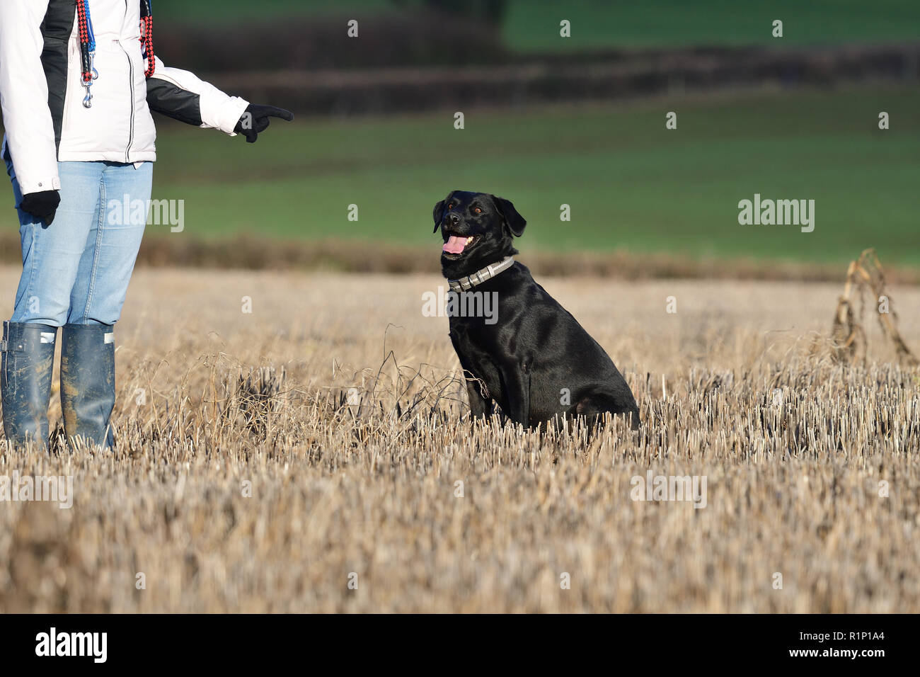 Portrait of an obedient black Labrador sitting in front of it's owner - Stock Image