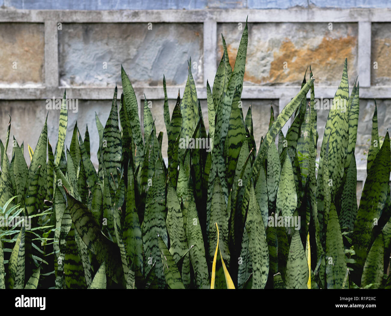 Vietnam, Ninh Binh. Pictured Light green pointy plants with dark green pattern against a grey stone background. - Stock Image