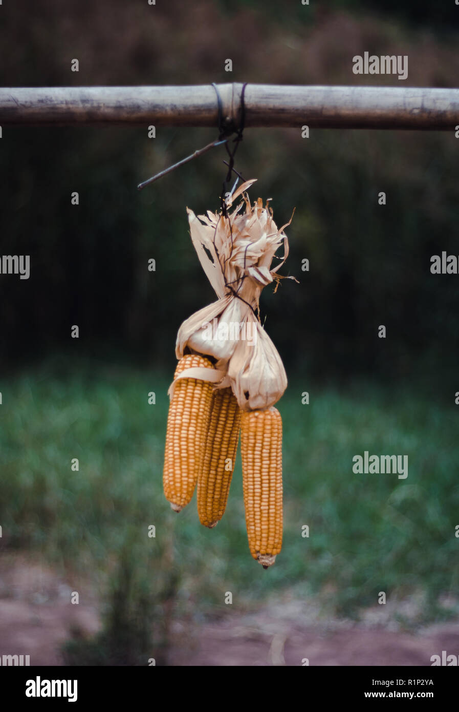 Ninh Binh, Vietnam. Pictured, hanging dried sweetcorn with a blurred background. - Stock Image
