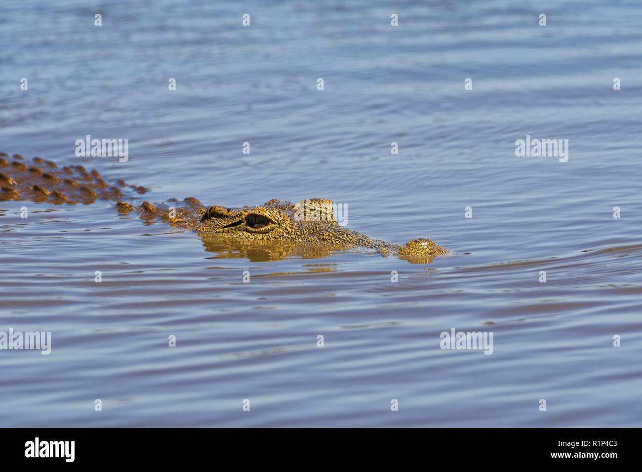 Nile crocodile (Crocodylus niloticus) in water, Sunset Dam, Kruger National Park, Mpumalanga, South Africa, Africa - Stock Photo