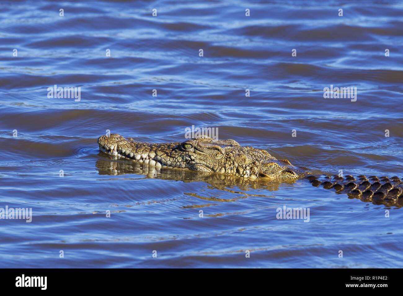 Nile crocodile (Crocodylus niloticus) in water, Sunset Dam, Kruger National Park, Mpumalanga, South Africa, Africa Stock Photo