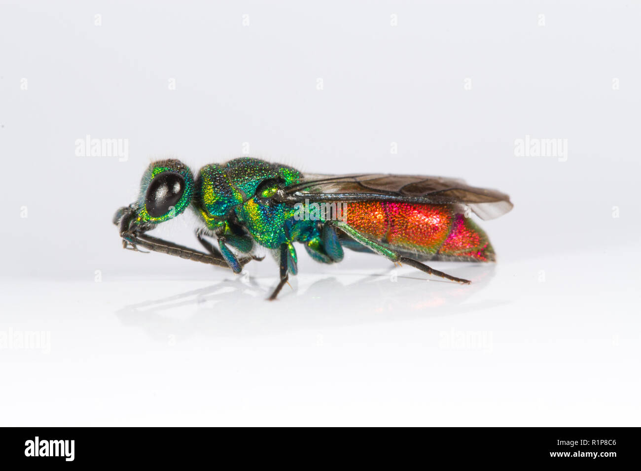 Ruby-tailed wasp (Chrysis sp.) adult female. Live insect photographed on a white background while cleaning her antaennae. Powys, Wales. June. - Stock Image