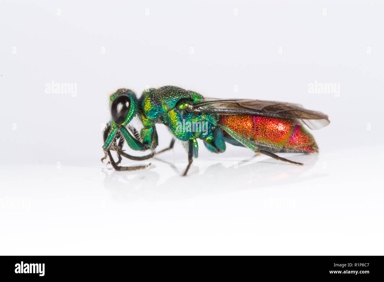 Ruby-tailed wasp (Chrysis sp.) adult female. Live insect photographed on a white background. Powys, Wales. June. - Stock Image