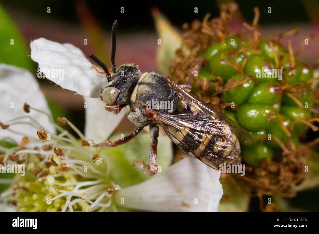 Red-thighed Epeolus bee (Epeolus cruciger) adult male feeding on a bramble flower. Shropshire, England. July. - Stock Image