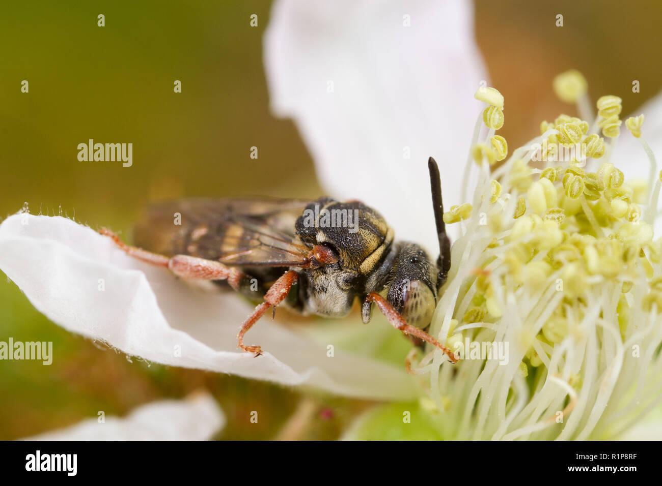 Red-thighed Epeolus (Epeolus cruciger) adult bee feeding on a bramble flower. Shropshire, England. July. - Stock Image