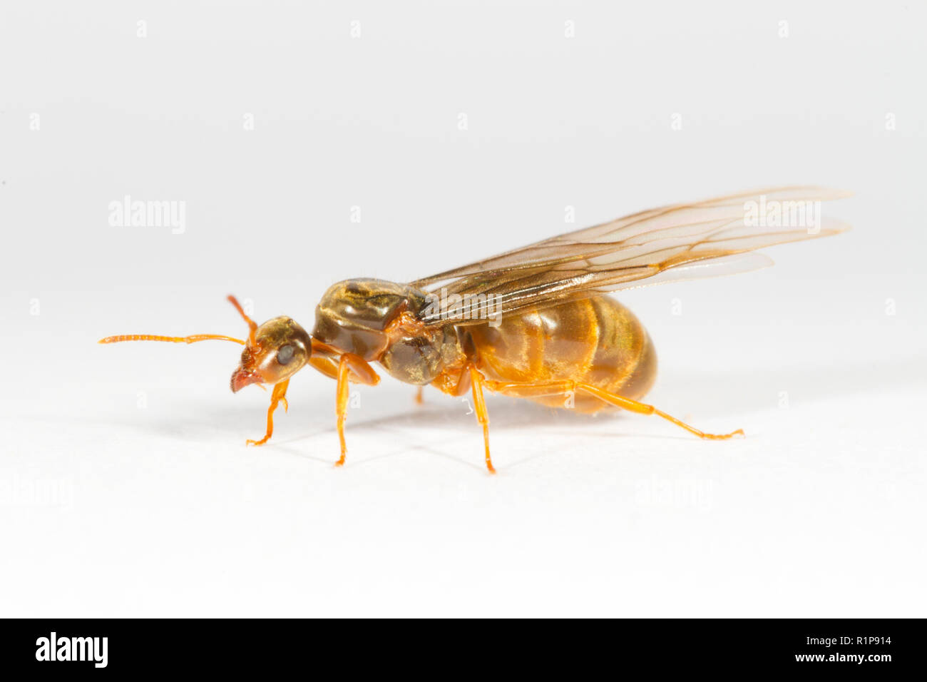 Yellow Meadow Ant Lasius Flavus Winged Queen Photographed On A White Background Powys Wales August Stock Photo Alamy