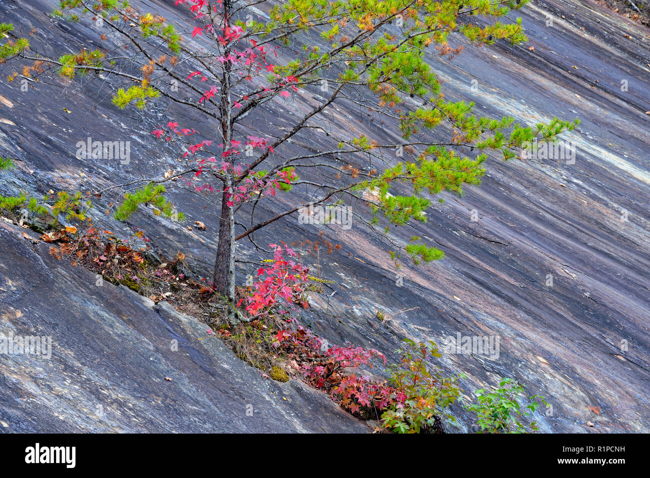 Pine and maple growing from a crack in a rock face, Great Smoky Mountains National Park, Tennessee, USA - Stock Image