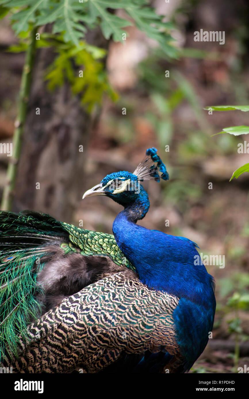 Peacock ; Scientific name Pavo muticus - Stock Image