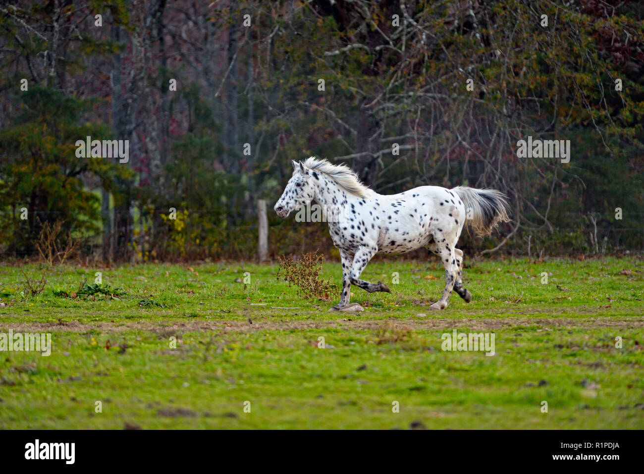 Horses in a pasture in Cades Cove in the evening, Great Smoky Mountains National Park, Tennessee, USA - Stock Image