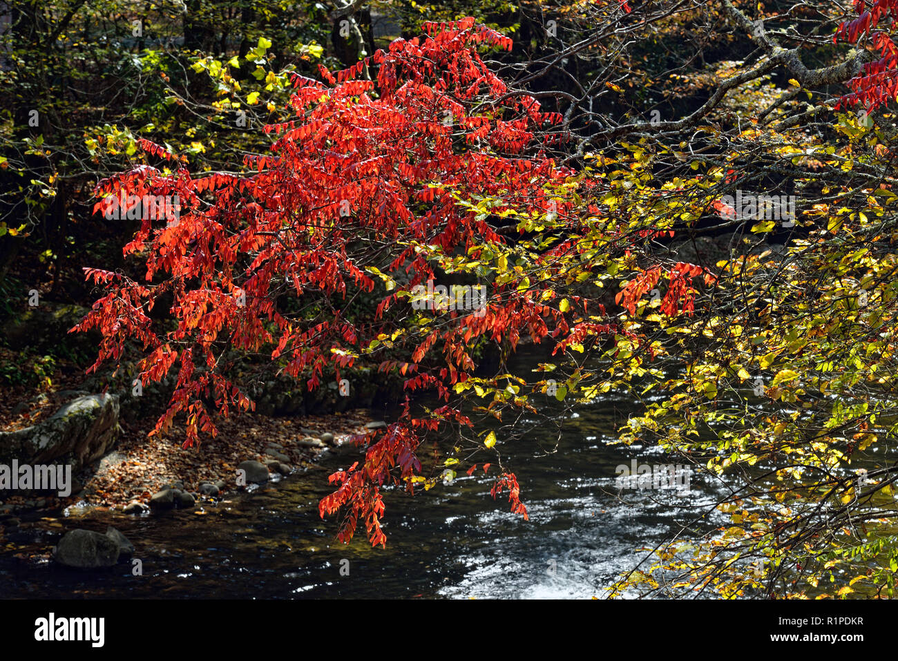 Black gum leaves overhanging the Little River in autumn, Great Smoky Mountains National Park, Tennessee, USA - Stock Image