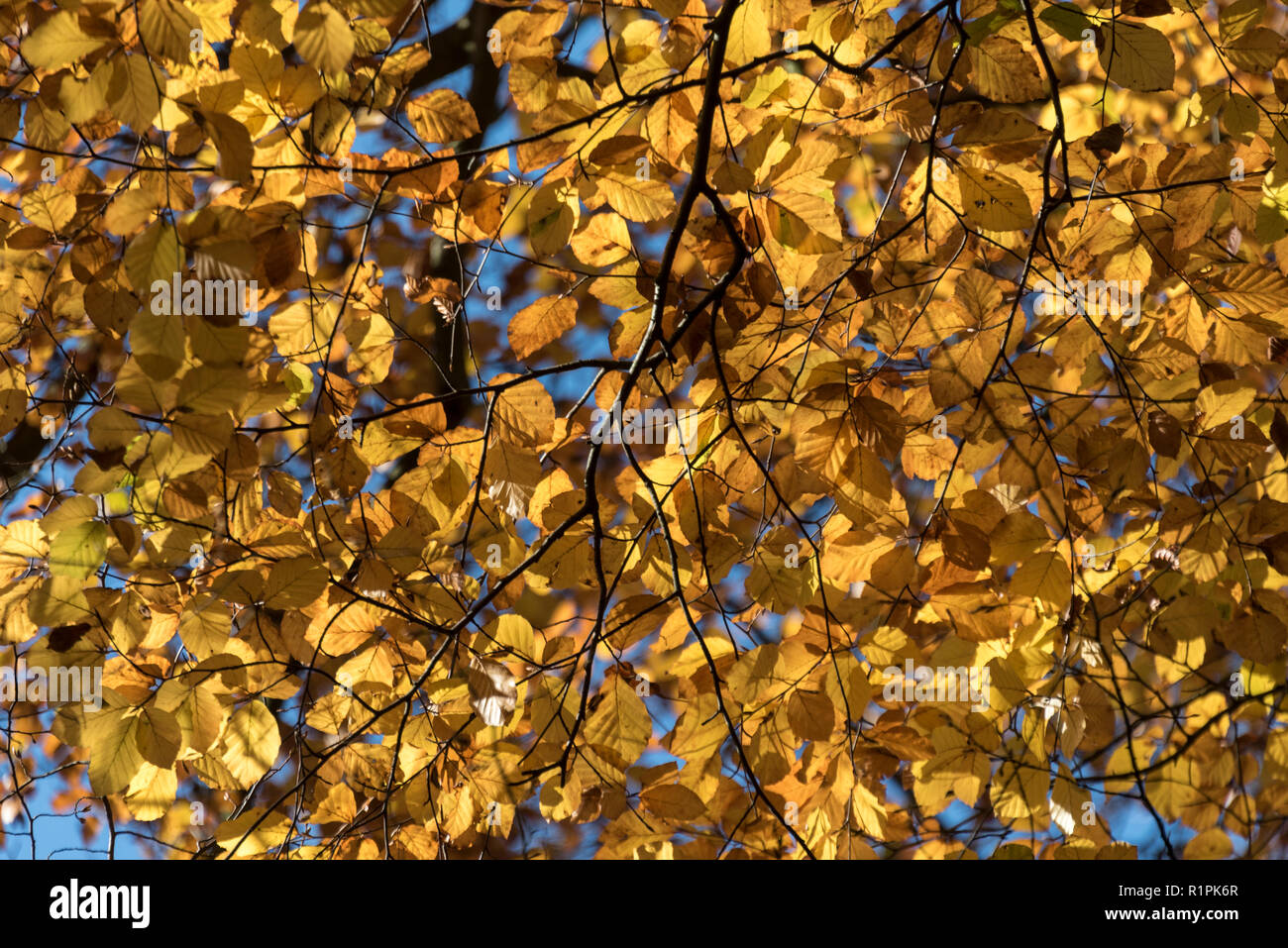 English Autumn colour from the beech trees near Marlow in Buckinghamshire, Britain - Stock Image