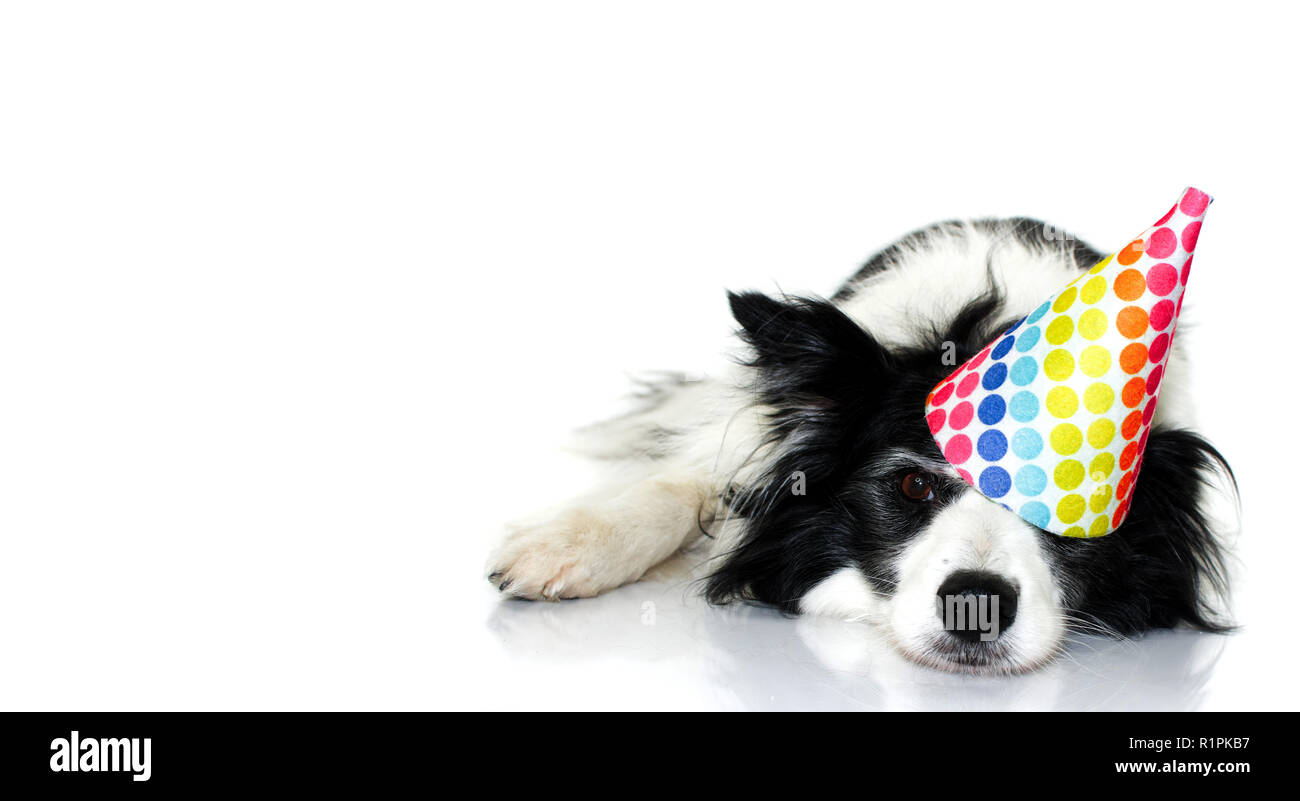 cute border collie dog celebrating a birthday or new year party with a multi colored polka dot hat lying down with a lovely expression isolated stud