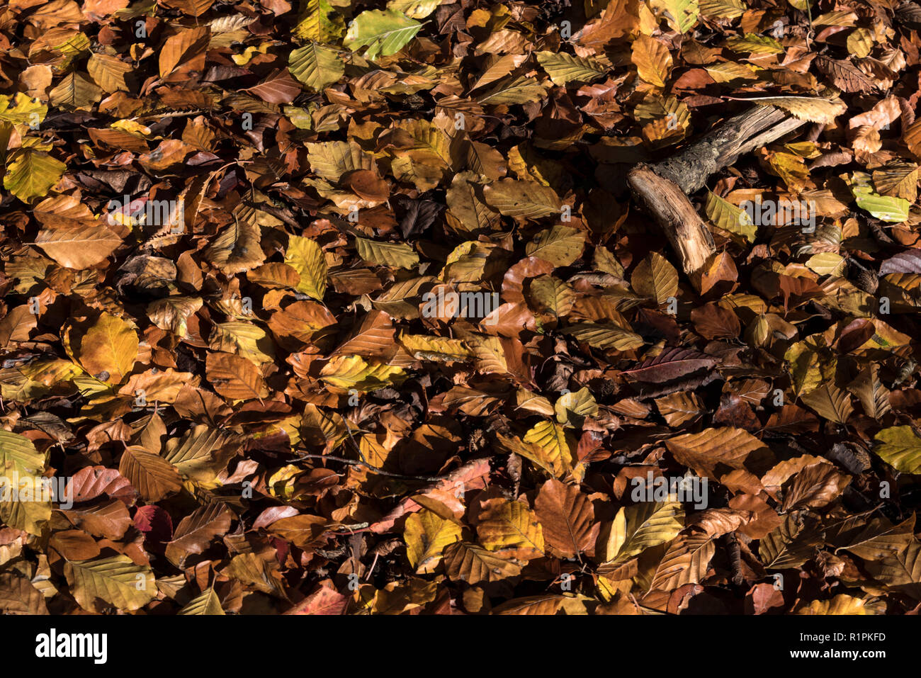 A carpet of fallen autumn leaves on the woodland floor in a beach wood near Marlow in Buckinghamshire, Britain - Stock Image