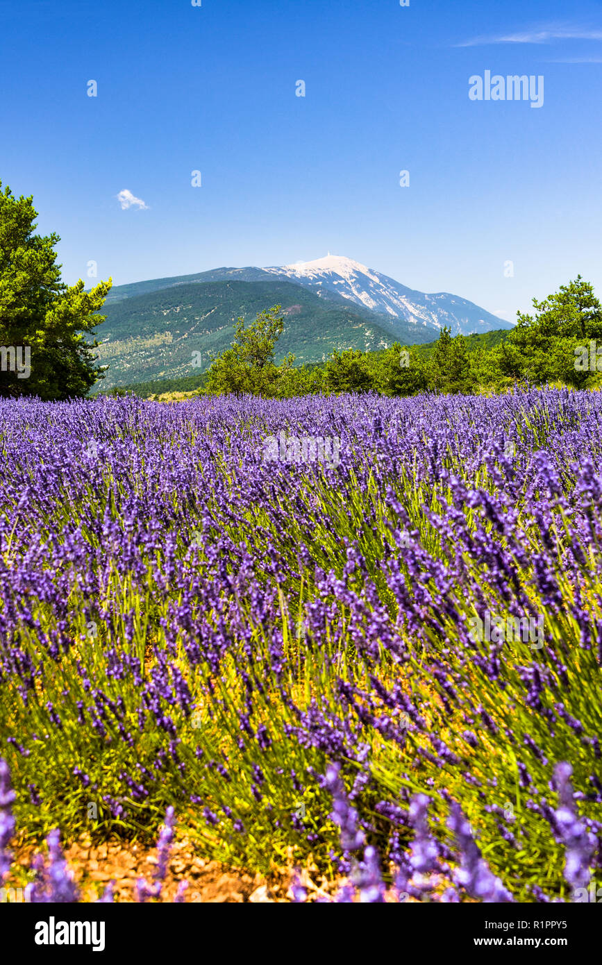 mountain Mont Ventoux with lavender field in foreground, village Ferrassières, Provence, France Stock Photo