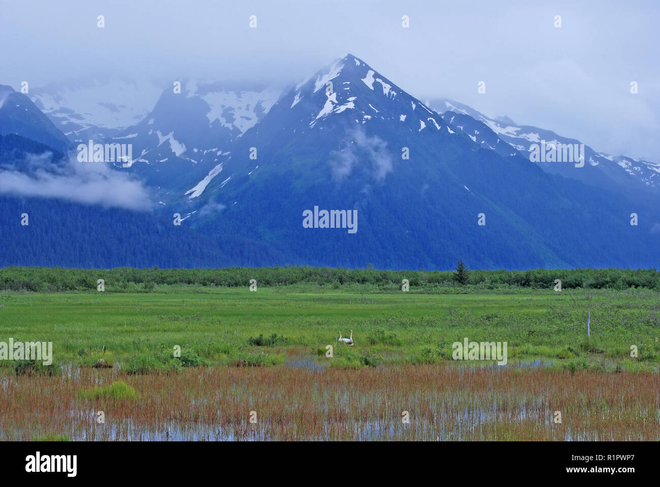 Trumpeter Swan habitat in Copper River Basin with the Chugach Mountains near Cordova, Alaska - Stock Image