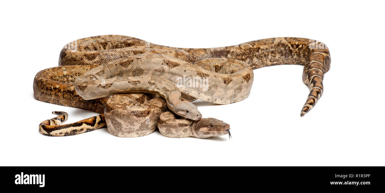 Two Common Northern Boas, Boa constrictor imperator, from Hog Island, Honduras, Central America, against white background Stock Photo
