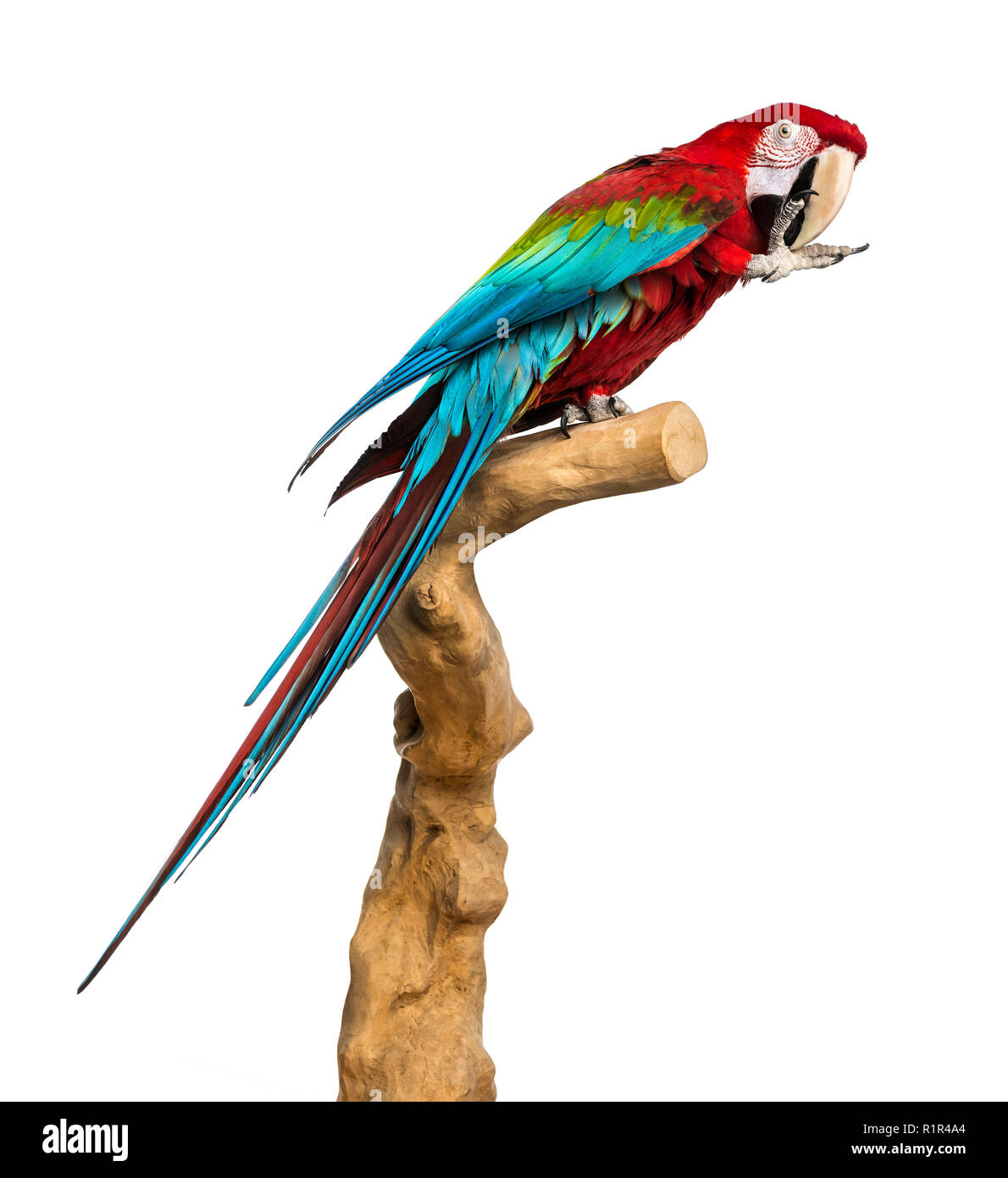 Red-and-green macaw perched on a branch and cleaning itself, isolated on white Stock Photo