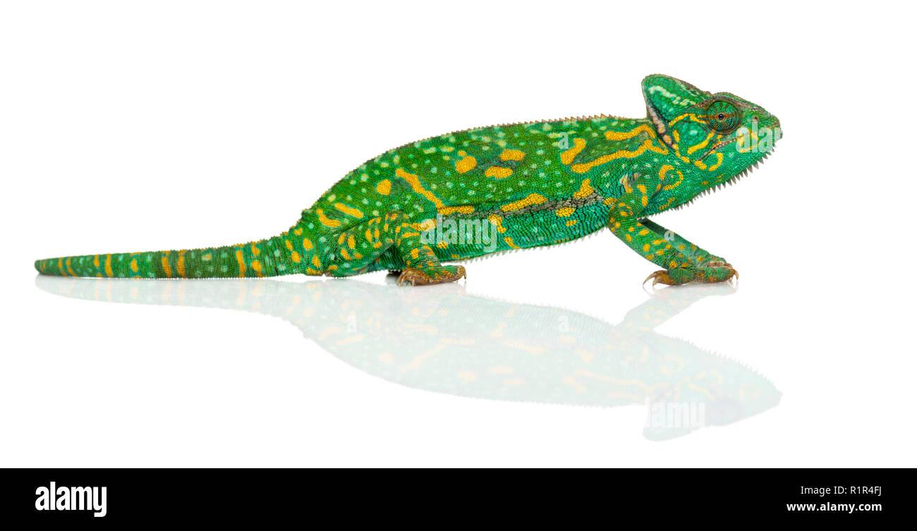 Yemen chameleon - Chamaeleo calyptratus - isolated on white - Stock Image